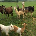 llamas and goats